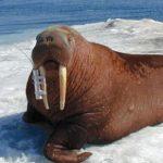 Walrus tracking